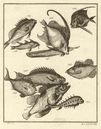 XXXVIII Poissons d'Ambione. Indonesia Moluccas Maluku tropical fish. SCHLEY 1763